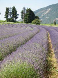 Lavendelroute met de auto