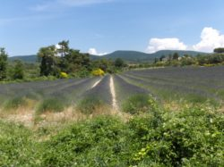 Lavendel 2015