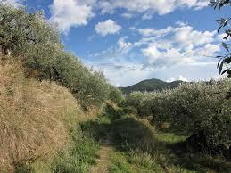 olijfboom nyons