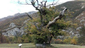 De oudste kastanjeboom in de Drôme, Chastel-Arnaud