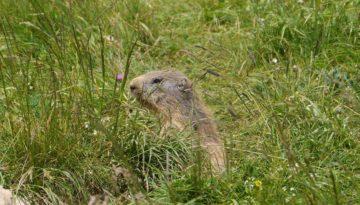 De marmotten in de Vallon de Combeau