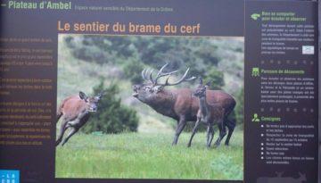 Burlende herten 'brame du cerf', plateau d'Ambel, Vercors