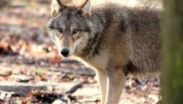 Wolven in de Drôme: Pas op voor de grote 'boze' hond!